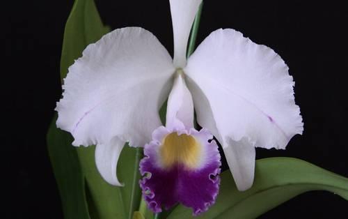 Ctrianaei Coerulea
